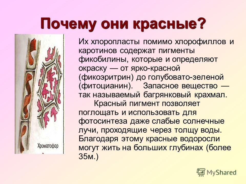 Почему они красные? Их хлоропласты помимо хлорофиллов и каротинов содержат пигменты фикобилины, которые и определяют окраску от ярко-красной (фикоэритрин) до голубовато-зеленой (фитоцианин). Запасное вещество так называемый багрянковый крахмал. Красн