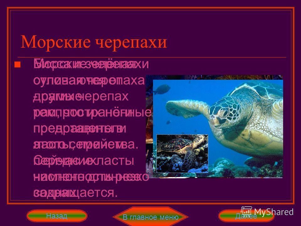 В главное меню ДалееНазад Морские черепахи отличаются от других черепах тем, что их ноги превращены в ласты, причем передние ласты намного длиннее задних Морские черепахи