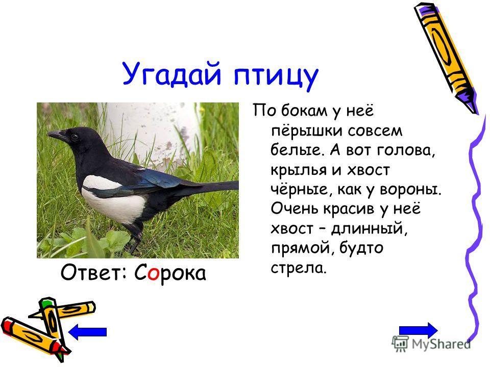Угадай птицу По бокам у неё пёрышки совсем белые. А вот голова, крылья и хвост чёрные, как у вороны. Очень красив у неё хвост – длинный, прямой, будто стрела. Ответ: Сорока