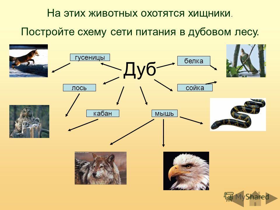 На этих животных охотятся хищники. Постройте схему сети питания в дубовом лесу. Дуб кабан лось мышь белка сойка гусеницы