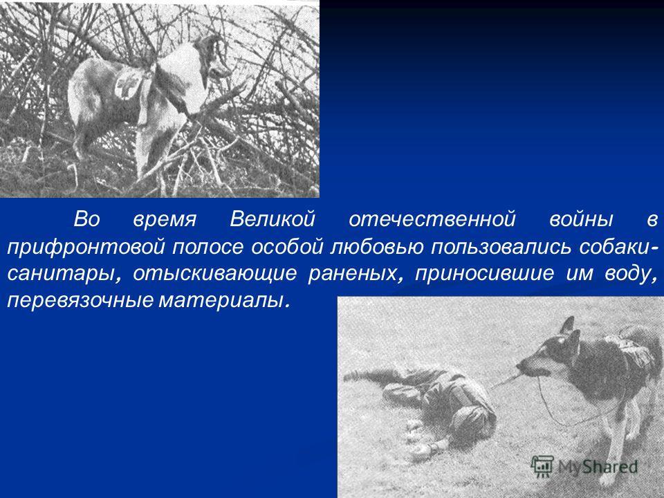 Во время Великой отечественной войны в прифронтовой полосе особой любовью пользовались собаки - санитары, отыскивающие раненых, приносившие им воду, перевязочные материалы.