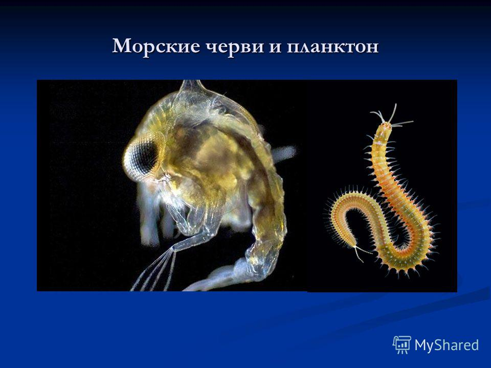 Морские черви и планктон