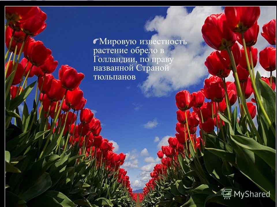 Мировую известность растение обрело в Голландии, по праву названной Страной тюльпанов