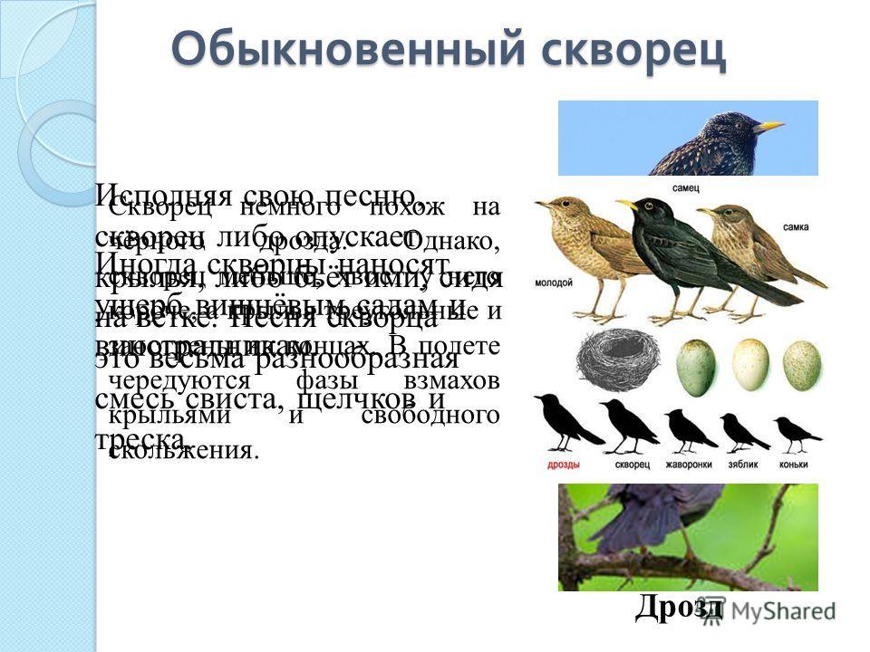 Дрозд Обыкновенный скворец Скворец немного похож на чёрного дрозда. Однако, скворец меньше, хвост у него короче, а крылья треугольные и заострены на концах. В полете чередуются фазы взмахов крыльями и свободного скольжения. Исполняя свою песню, сквор