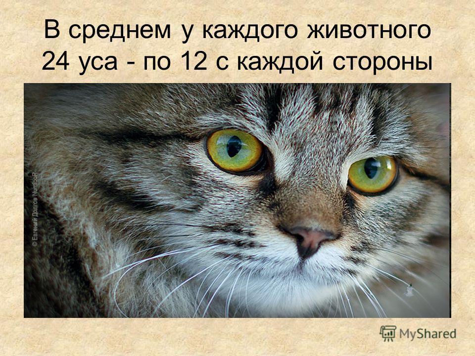 В среднем у каждого животного 24 уса - по 12 с каждой стороны