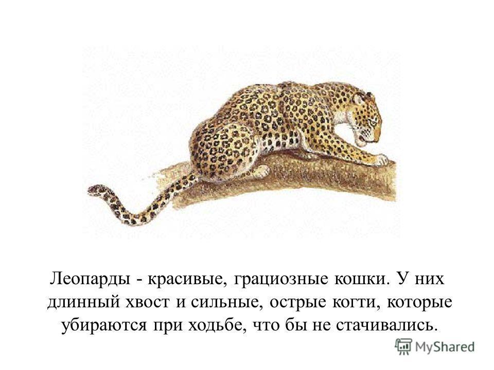 Леопарды - красивые, грациозные кошки. У них длинный хвост и сильные, острые когти, которые убираются при ходьбе, что бы не стачивались.