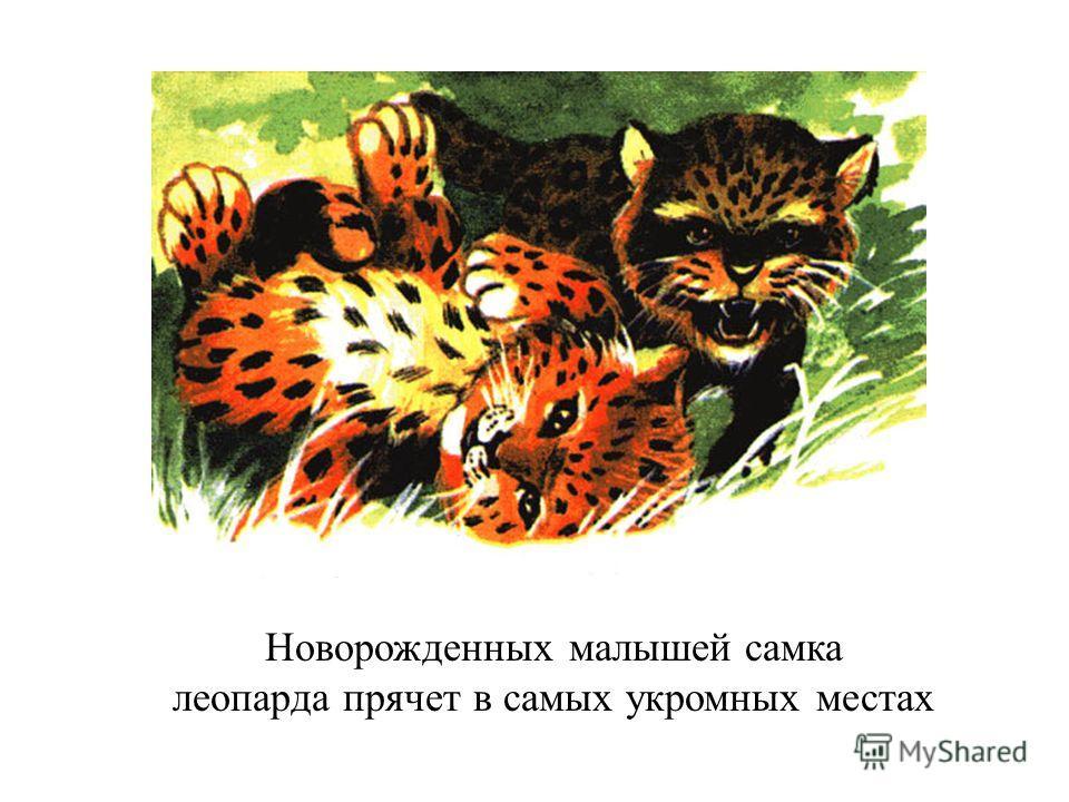 Новорожденных малышей самка леопарда прячет в самых укромных местах