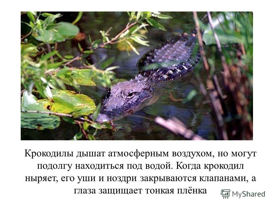 Крокодилы дышат атмосферным воздухом, но могут подолгу находиться под водой. Когда крокодил ныряет, его уши и ноздри закрываются клапанами, а глаза защищает тонкая плёнка