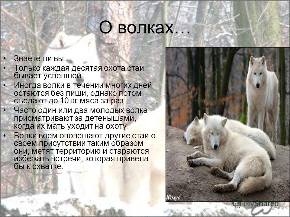 О волках… Знаете ли вы.. Только каждая десятая охота стаи бывает успешной. Иногда волки в течении многих дней остаются без пищи, однако потом съедают до 10 кг мяса за раз. Часто один или два молодых волка присматривают за детенышами, когда их мать ух