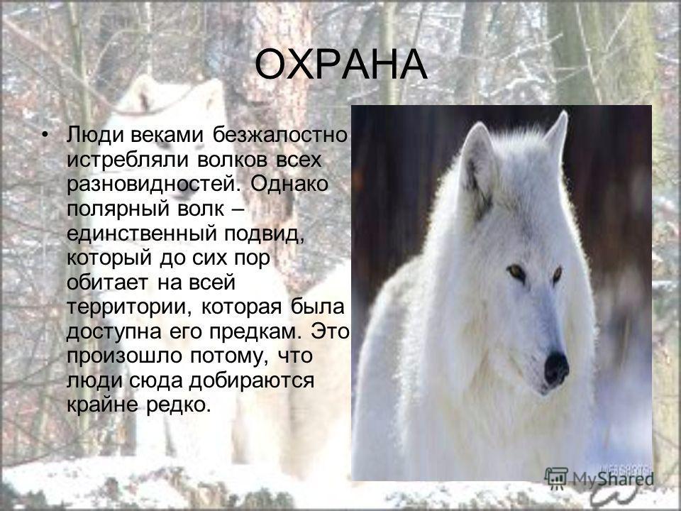 ОХРАНА Люди веками безжалостно истребляли волков всех разновидностей. Однако полярный волк – единственный подвид, который до сих пор обитает на всей территории, которая была доступна его предкам. Это произошло потому, что люди сюда добираются крайне