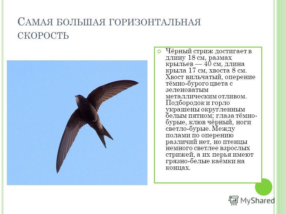 С АМАЯ БОЛЬШАЯ ГОРИЗОНТАЛЬНАЯ СКОРОСТЬ Чёрный стриж достигает в длину 18 см, размах крыльев 40 см, длина крыла 17 см, хвоста 8 см. Хвост вильчатый, оперение тёмно-бурого цвета с зеленоватым металлическим отливом. Подбородок и горло украшены округленн