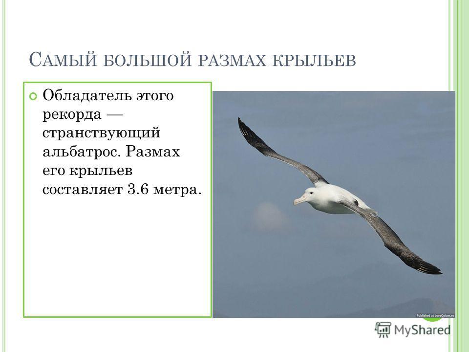 С АМЫЙ БОЛЬШОЙ РАЗМАХ КРЫЛЬЕВ Обладатель этого рекорда странствующий альбатрос. Размах его крыльев составляет 3.6 метра.