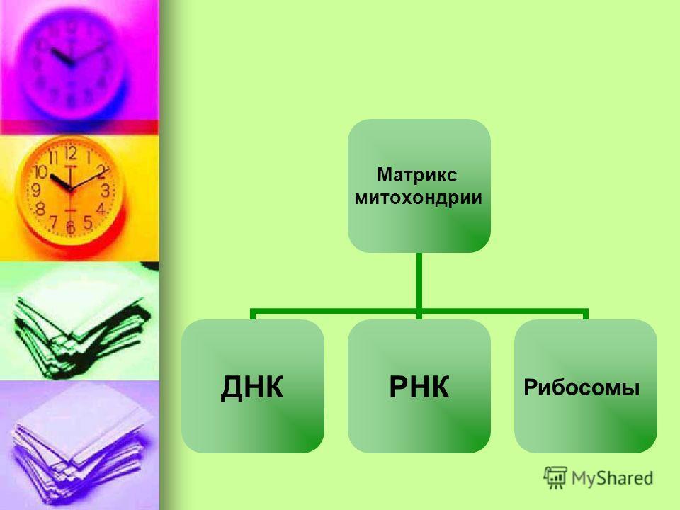 Матрикс митохондрии ДНКРНКРибосомы