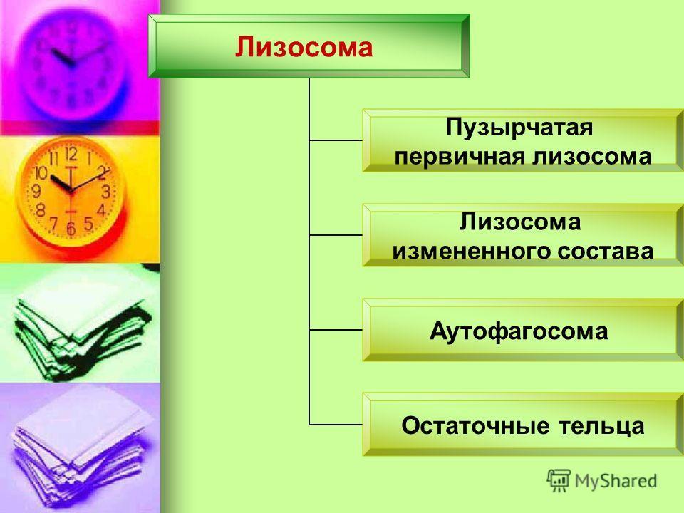 Лизосома Пузырчатая первичная лизосома Лизосома измененного состава Аутофагосома Остаточные тельца
