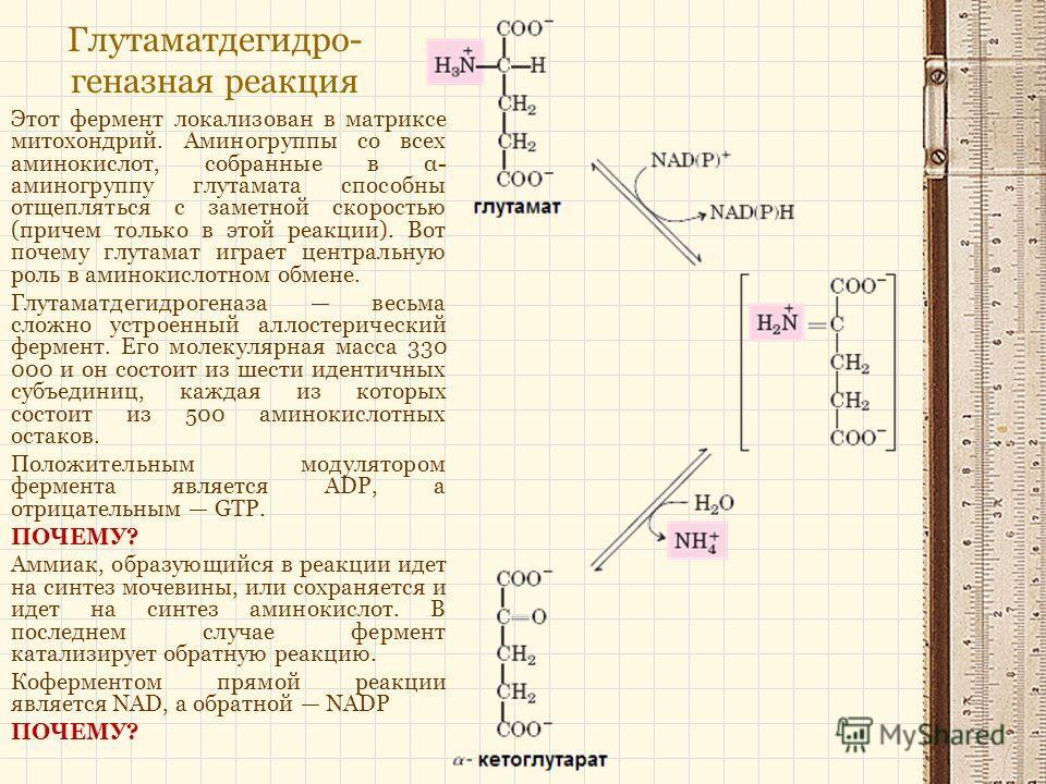Глутаматдегидро- геназная реакция Этот фермент локализован в матриксе митохондрий. Аминогруппы со всех аминокислот, собранные в α- аминогруппу глутамата способны отщепляться с заметной скоростью (причем только в этой реакции). Вот почему глутамат игр