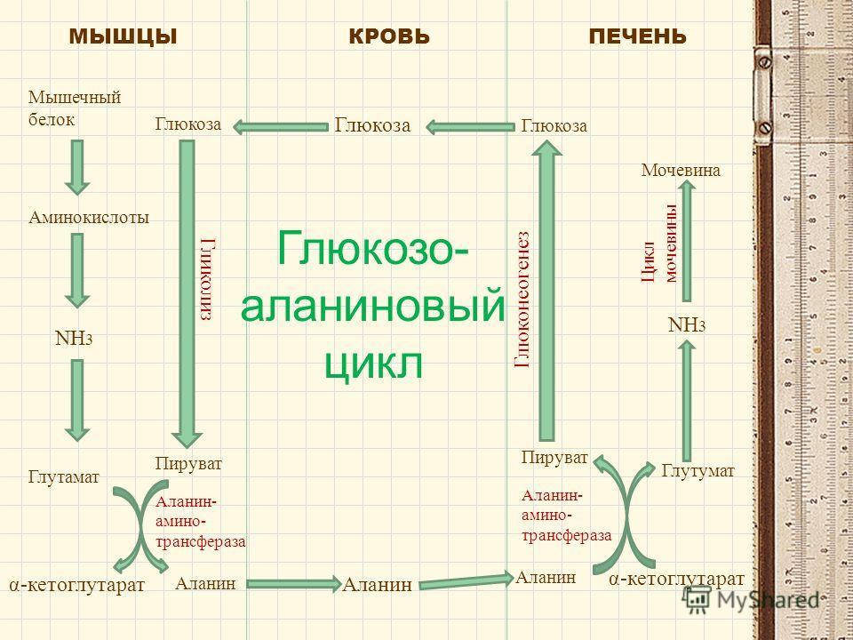 МЫШЦЫКРОВЬПЕЧЕНЬ Мышечный белок Аминокислоты NH 3 Глутамат α-кетоглутарат Глюкоза Гликолиз Пируват Аланин- амино- трансфераза Аланин Глюкоза Аланин Глюкоза Мочевина NH 3 Глутумат Пируват Аланин α-кетоглутарат Глюконеогенез Аланин- амино- трансфераза