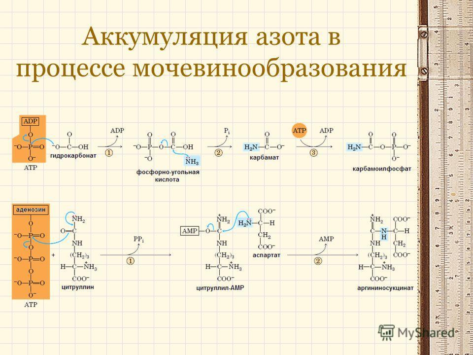 Аккумуляция азота в процессе мочевинообразования