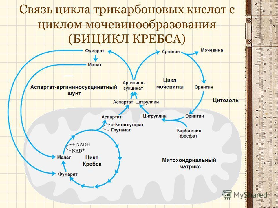 Связь цикла трикарбоновых кислот с циклом мочевинообразования (БИЦИКЛ КРЕБСА)