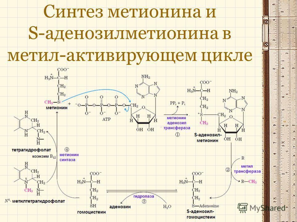 Синтез метионина и S-аденозилметионина в метил-активирующем цикле