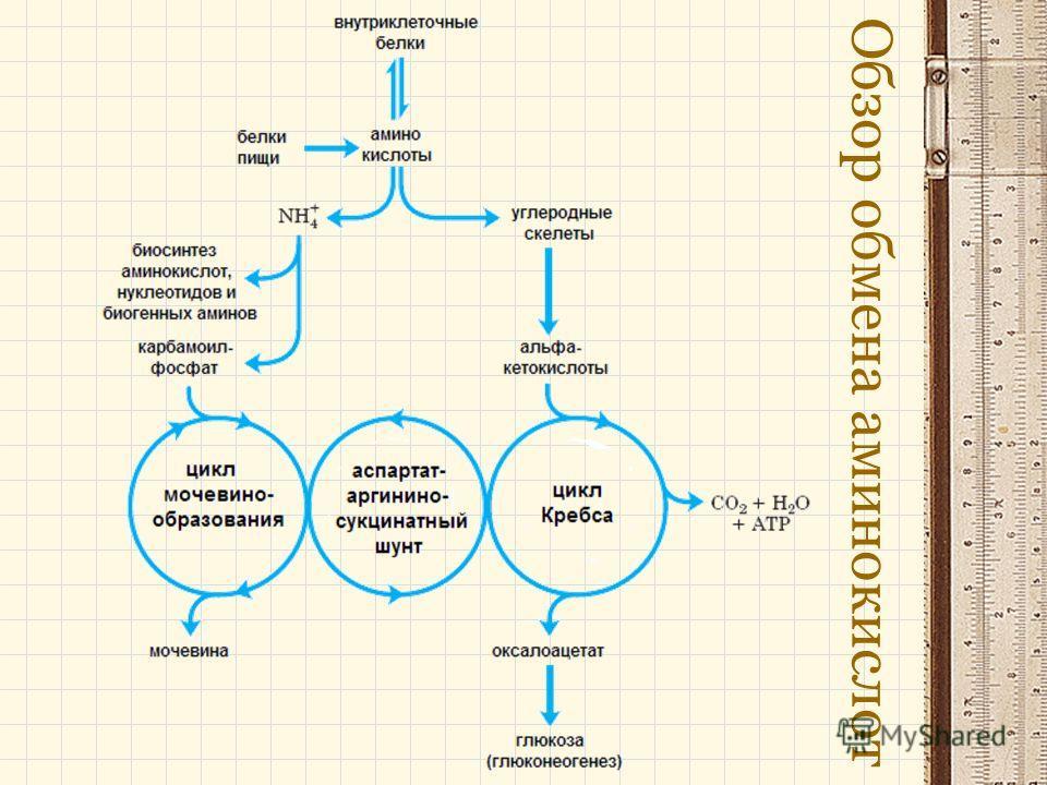 Обзор обмена аминокислот