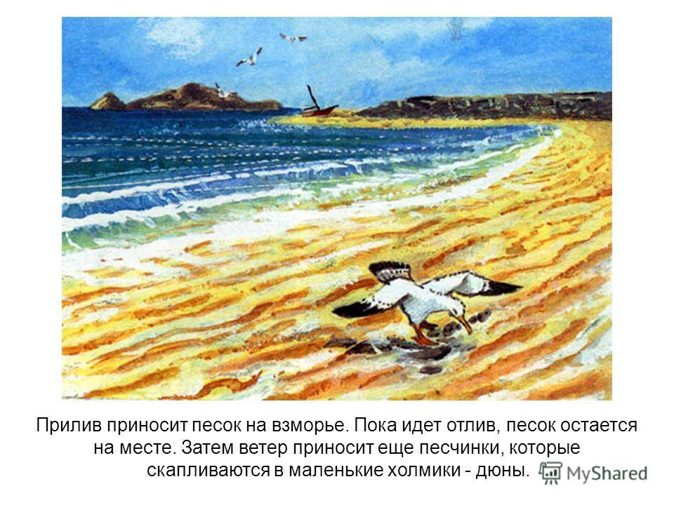 Прилив приносит песок на взморье. Пока идет отлив, песок остается на месте. Затем ветер приносит еще песчинки, которые скапливаются в маленькие холмики - дюны.