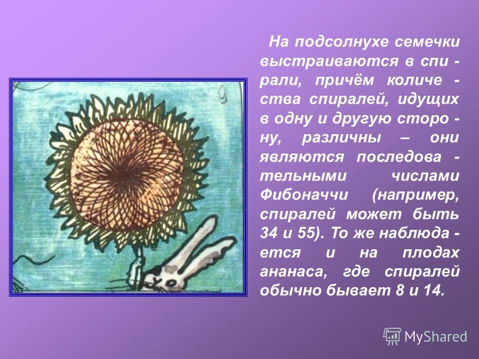 На подсолнухе семечки выстраиваются в спи - рали, причём количе - ства спиралей, идущих в одну и другую сторо - ну, различны – они являются последова - тельными числами Фибоначчи (например, спиралей может быть 34 и 55). То же наблюда - ется и на плод