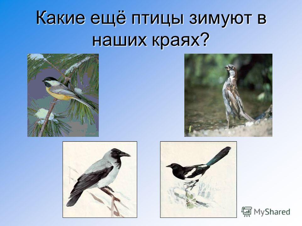 Какие ещё птицы зимуют в наших краях?