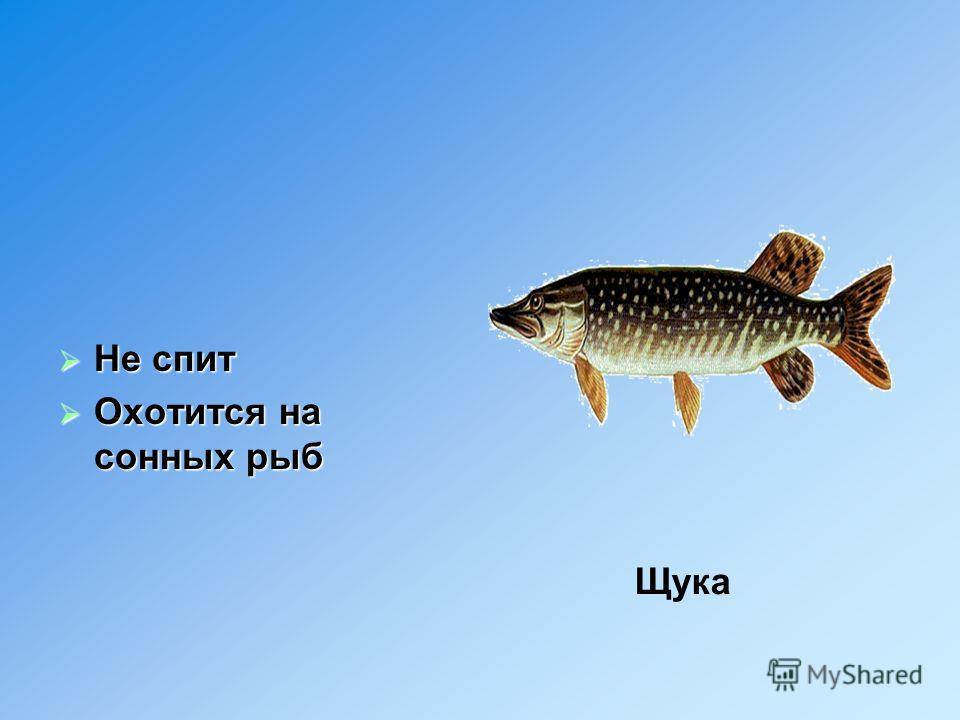 Не спит Охотится на сонных рыб Щука