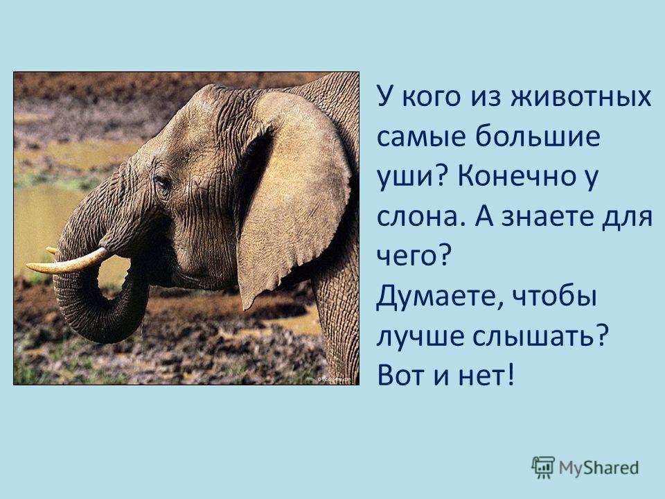 У кого из животных самые большие уши? Конечно у слона. А знаете для чего? Думаете, чтобы лучше слышать? Вот и нет!