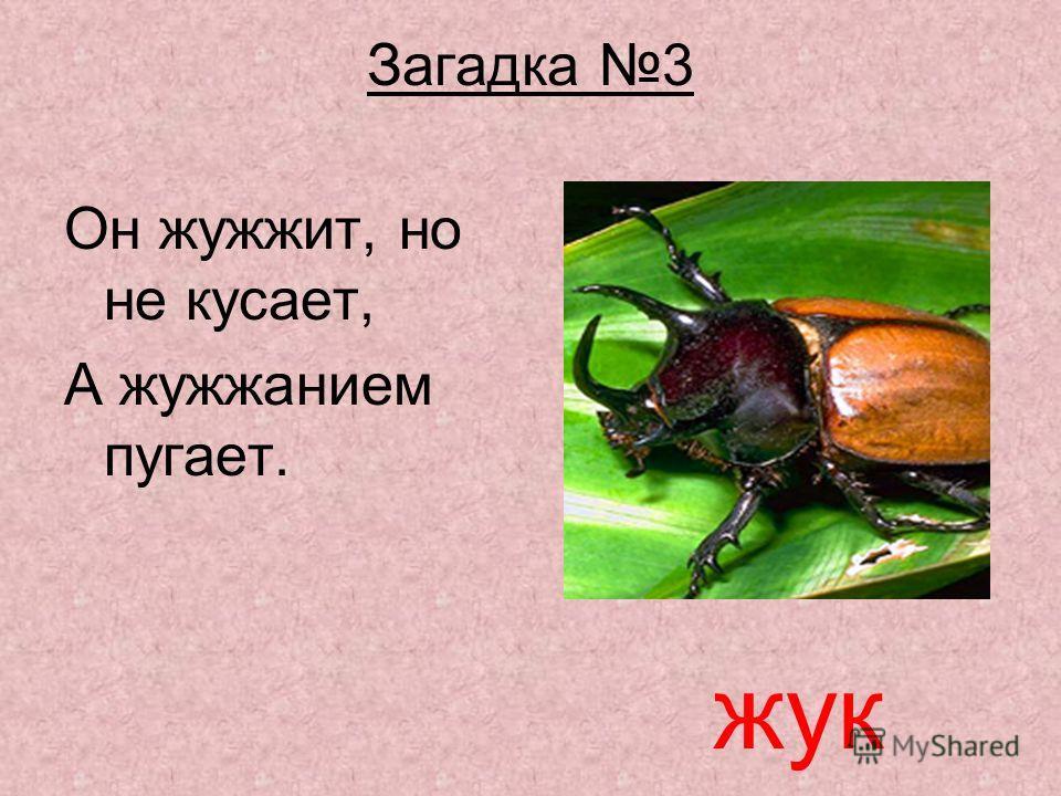 Презентация на тему Курсовая работа Сергиенко И А школа  7 Загадка 3 Он жужжит но не кусает А жужжанием пугает жук