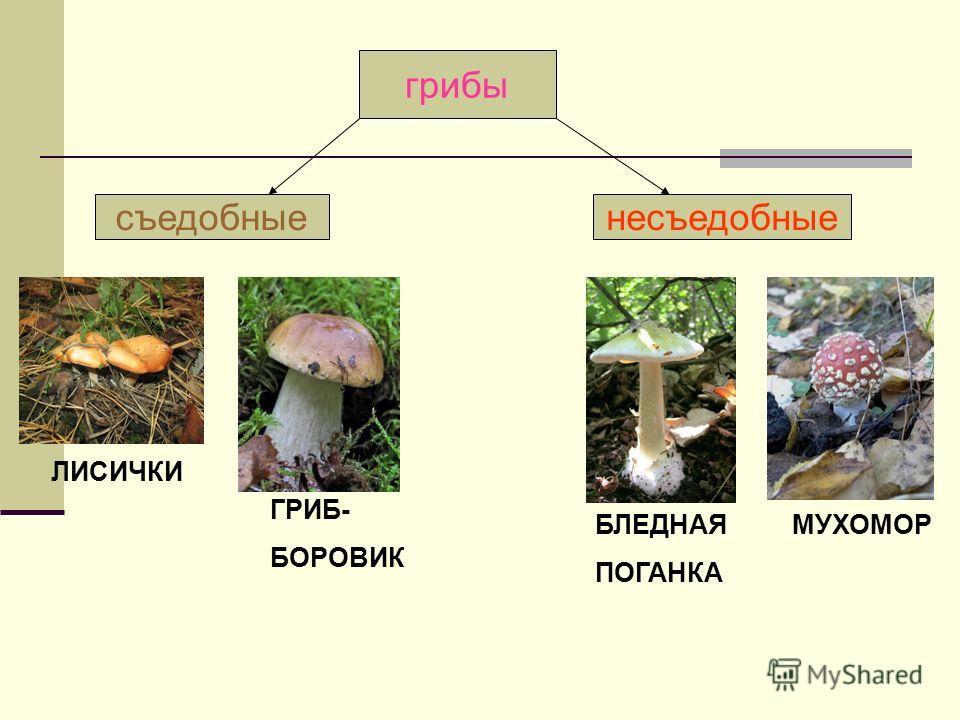 Мхи и лишайники КУКУШКИН ЛЕН ЯГЕЛЬ