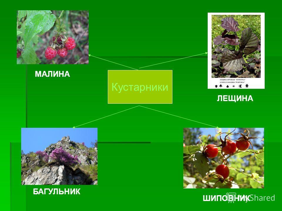 Деревья Хвойные Лиственные ЕЛЬ СОСНА ЛИПА БЕРЕЗА