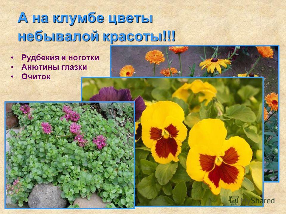 А на клумбе цветы небывалой красоты!!! Рудбекия и ноготки Анютины глазки Очиток