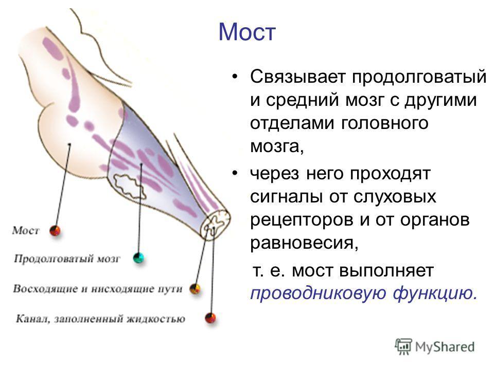 Мост Связывает продолговатый и средний мозг с другими отделами головного мозга, через него проходят сигналы от слуховых рецепторов и от органов равновесия, т. е. мост выполняет проводниковую функцию.