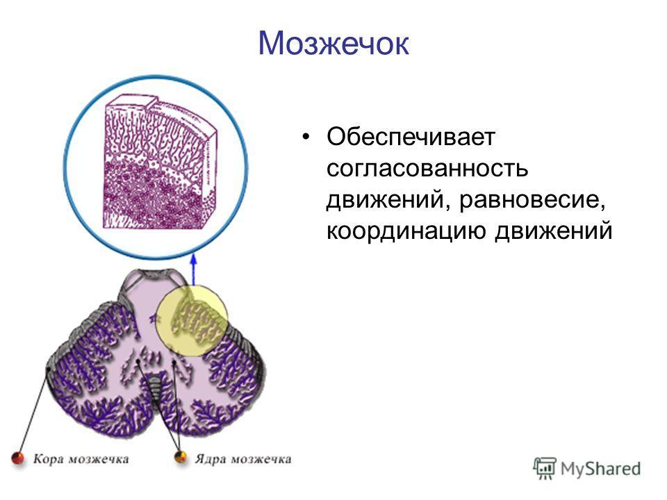 Мозжечок Обеспечивает согласованность движений, равновесие, координацию движений