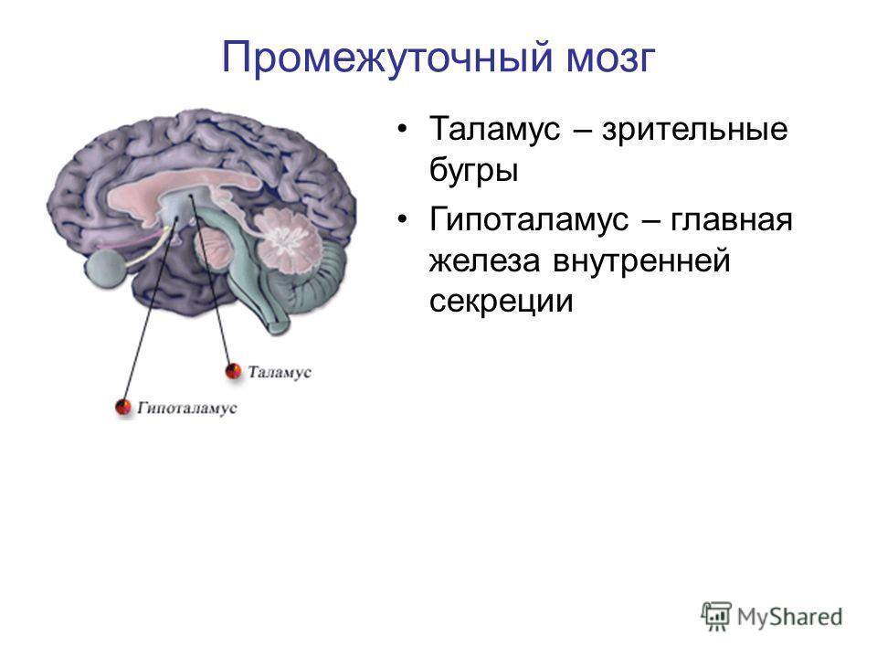 Таламус – зрительные бугры Гипоталамус – главная железа внутренней секреции