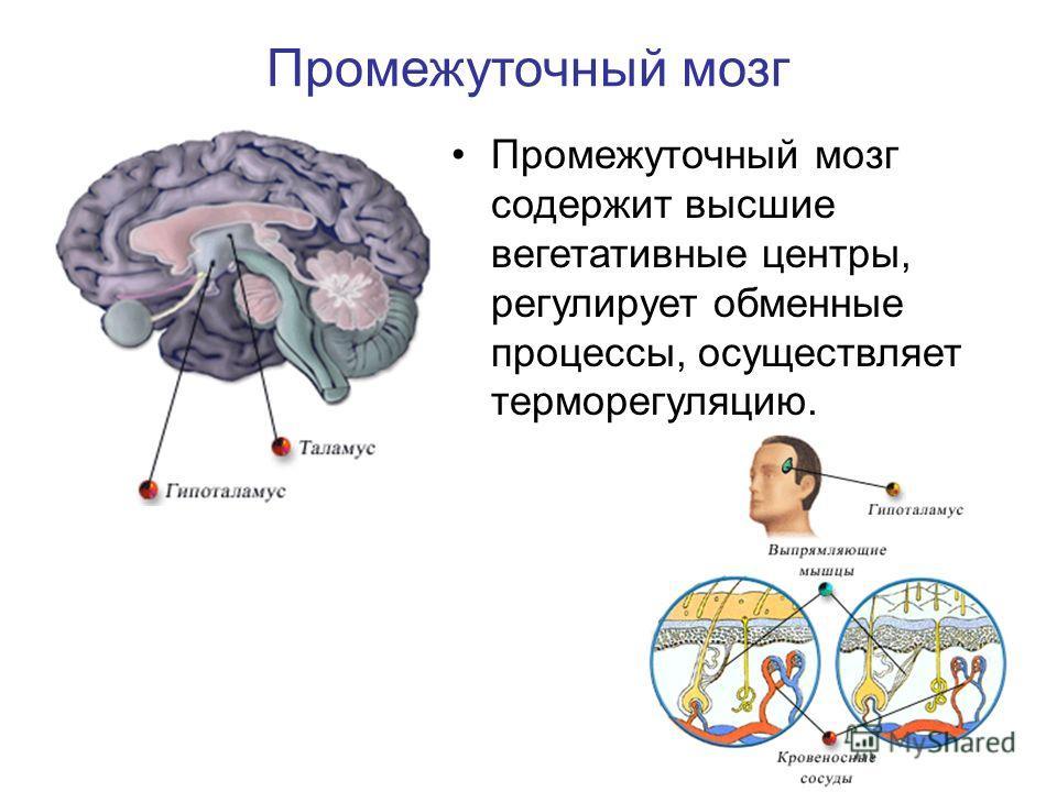 Промежуточный мозг содержит высшие вегетативные центры, регулирует обменные процессы, осуществляет терморегуляцию.