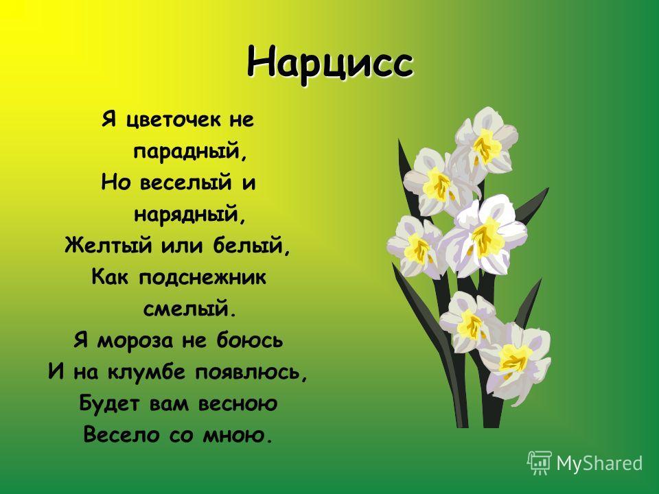 Нарцисс Я цветочек не парадный, Но веселый и нарядный, Желтый или белый, Как подснежник смелый. Я мороза не боюсь И на клумбе появлюсь, Будет вам весною Весело со мною.