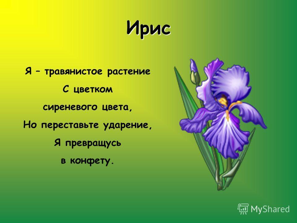 Ирис Я – травянистое растение С цветком сиреневого цвета, Но переставьте ударение, Я превращусь в конфету.