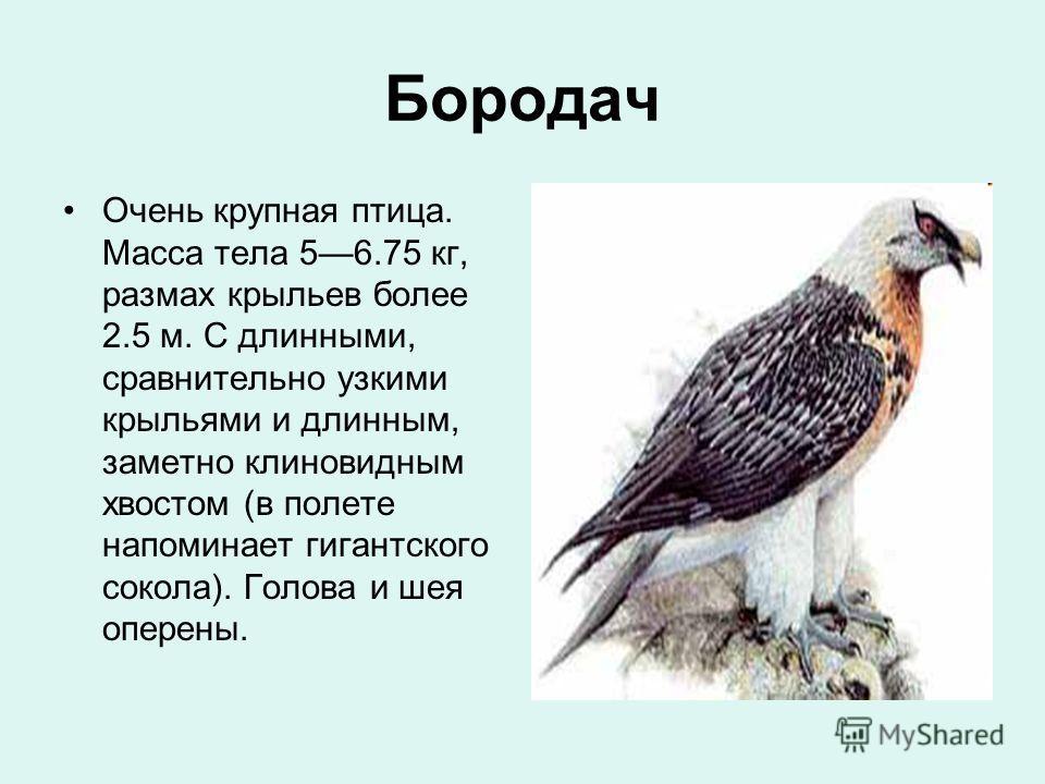 Бородач Очень крупная птица. Масса тела 56.75 кг, размах крыльев более 2.5 м. С длинными, сравнительно узкими крыльями и длинным, заметно клиновидным хвостом (в полете напоминает гигантского сокола). Голова и шея оперены.