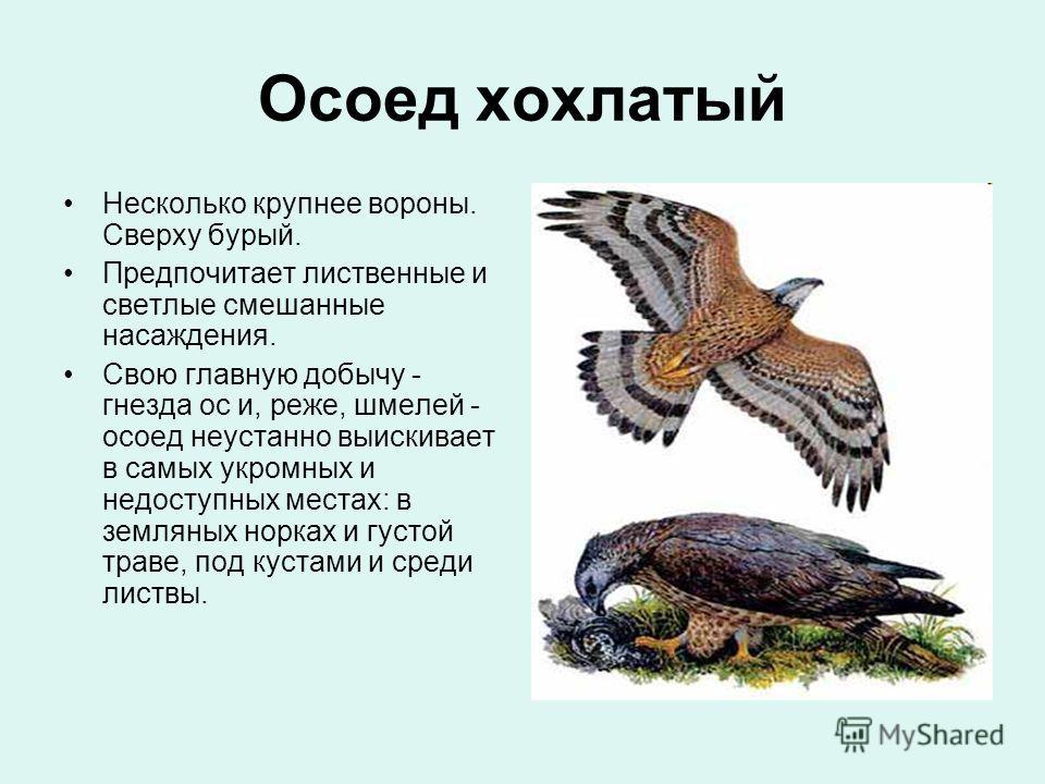 Осоед хохлатый Несколько крупнее вороны. Сверху бурый. Предпочитает лиственные и светлые смешанные насаждения. Свою главную добычу - гнезда ос и, реже, шмелей - осоед неустанно выискивает в самых укромных и недоступных местах: в земляных норках и гус