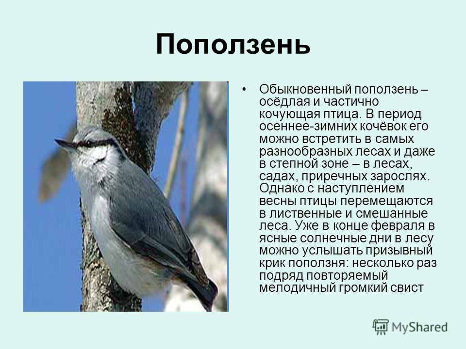 Поползень Обыкновенный поползень – осёдлая и частично кочующая птица. В период осеннее-зимних кочёвок его можно встретить в самых разнообразных лесах и даже в степной зоне – в лесах, садах, приречных зарослях. Однако с наступлением весны птицы переме