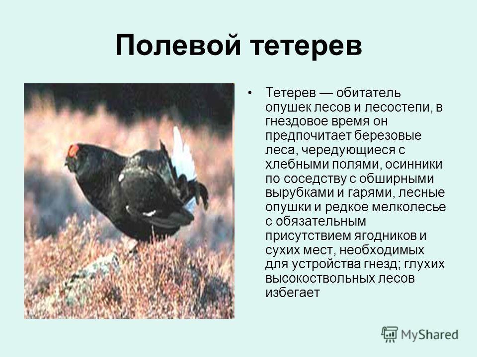 Полевой тетерев Тетерев обитатель опушек лесов и лесостепи, в гнездовое время он предпочитает березовые леса, чередующиеся с хлебными полями, осинники по соседству с обширными вырубками и гарями, лесные опушки и редкое мелколесье с обязательным прису