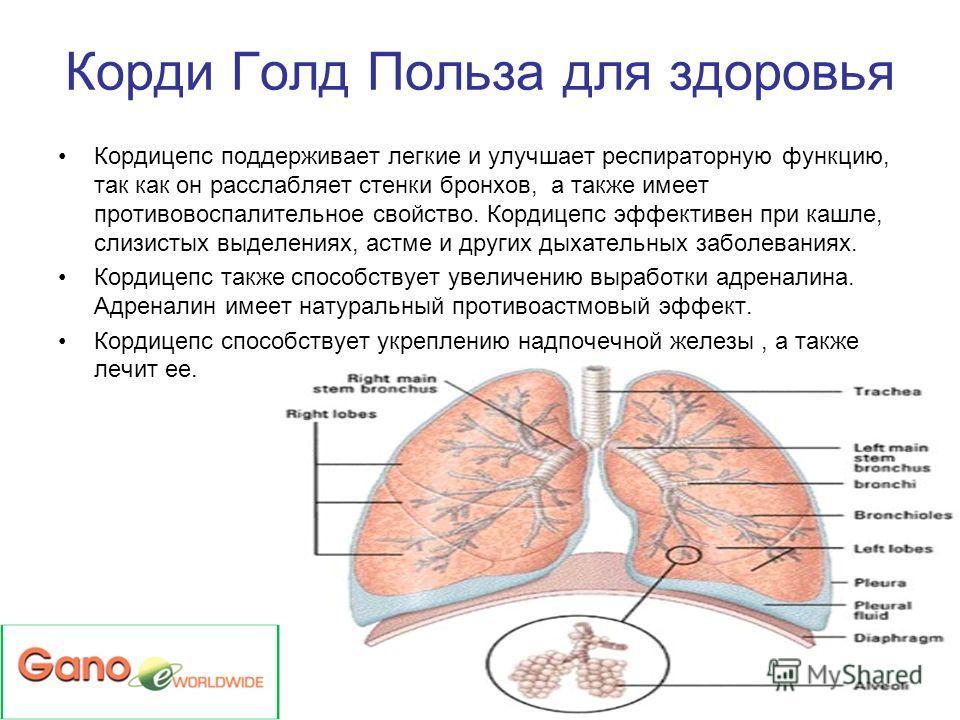 Кордицепс поддерживает легкие и улучшает респираторную функцию, так как он расслабляет стенки бронхов, а также имеет противовоспалительное свойство. Кордицепс эффективен при кашле, слизистых выделениях, астме и других дыхательных заболеваниях. Кордиц