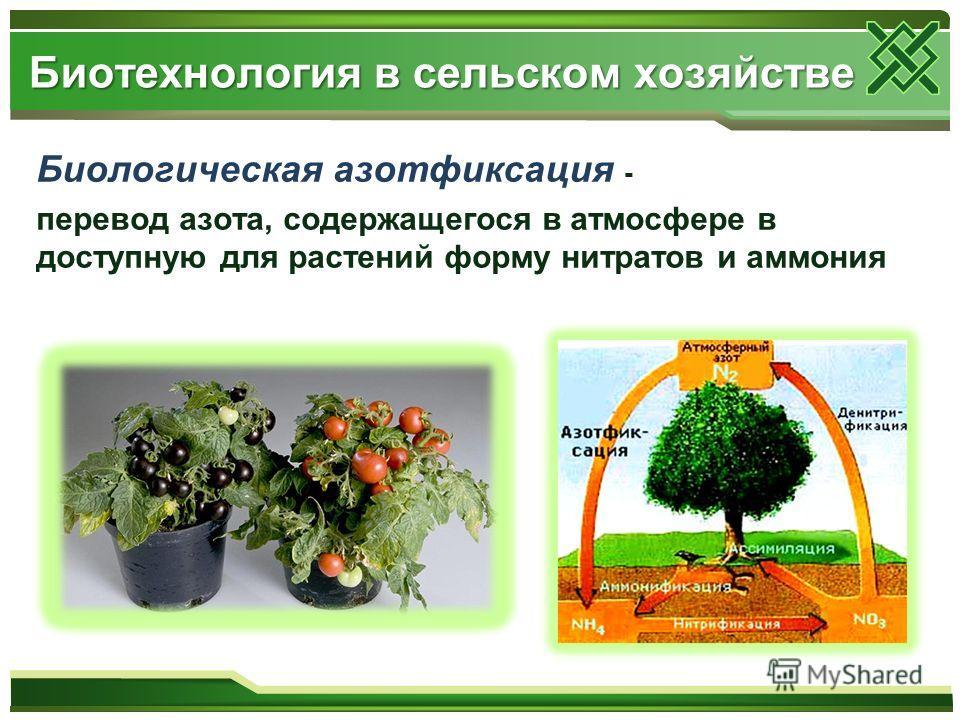 Биологическая азотфиксация - перевод азота, содержащегося в атмосфере в доступную для растений форму нитратов и аммония Биотехнология в сельском хозяйстве