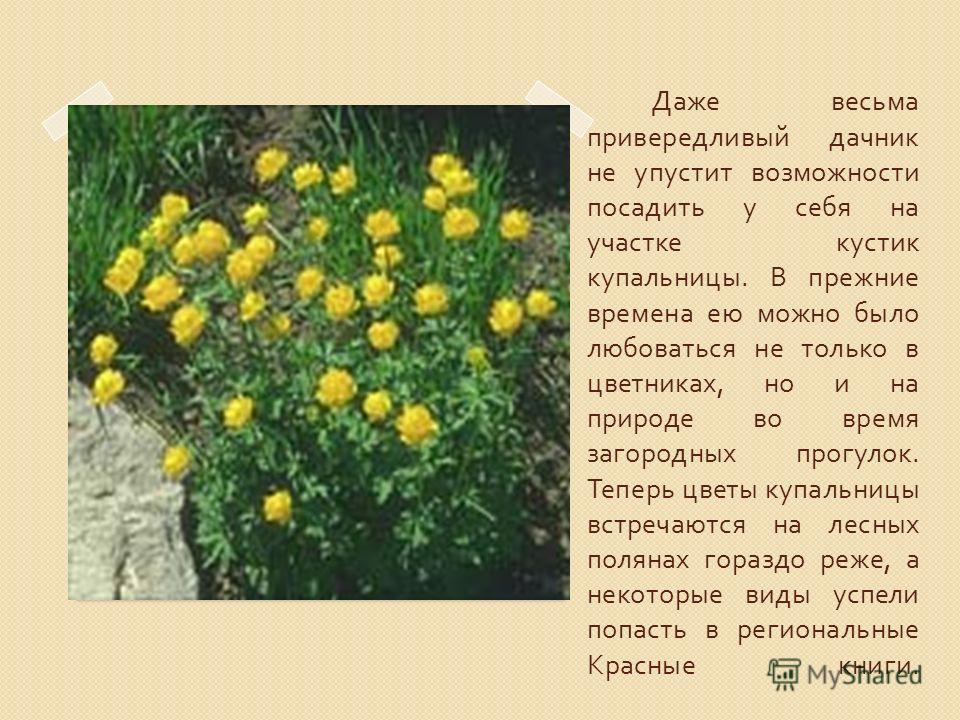 Даже весьма привередливый дачник не упустит возможности посадить у себя на участке кустик купальницы. В прежние времена ею можно было любоваться не только в цветниках, но и на природе во время загородных прогулок. Теперь цветы купальницы встречаются