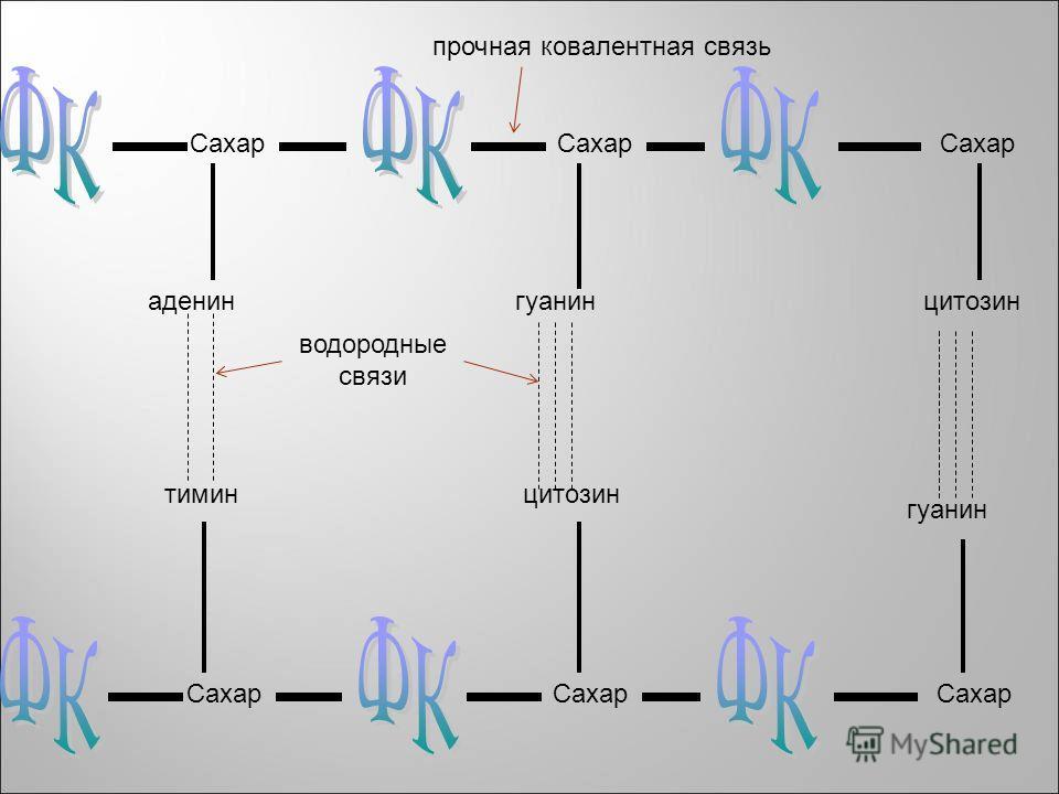 Сахар аденин Сахар гуанинцитозин тимин гуанин цитозин прочная ковалентная связь водородные связи