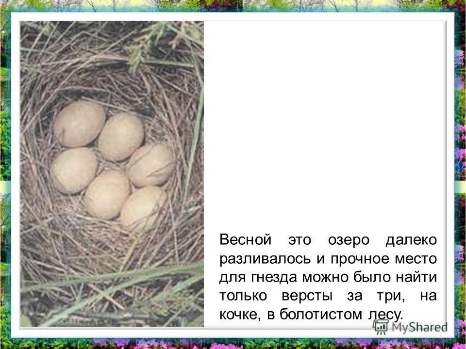 Весной это озеро далеко разливалось и прочное место для гнезда можно было найти только версты за три, на кочке, в болотистом лесу.