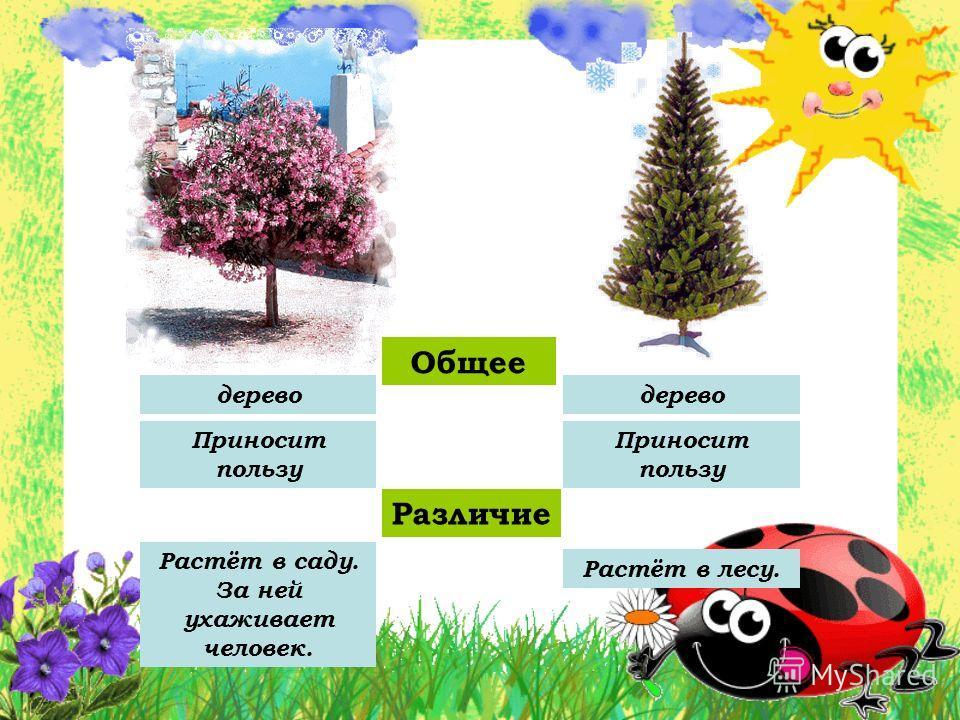 Общее Различие Растёт в лесу. Растёт в саду. За ней ухаживает человек. дерево Приносит пользу