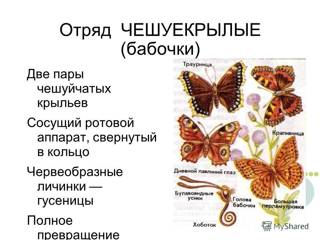 Отряд ЧЕШУЕКРЫЛЫЕ (бабочки) Две пары чешуйчатых крыльев Сосущий ротовой аппарат, свернутый в кольцо Червеобразные личинки гусеницы Полное превращение